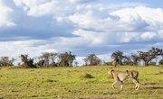 Adaptations of Cheetahs to Live in a Savanna