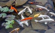 What Fish Will Help Clean Up a Pond?