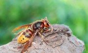 What Are the Benefits of Hornets?