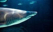 How to Identify Shark Teeth Found in South Carolina