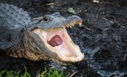 How to Estimate an Alligator's Length by Its Head Size