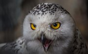 Where Does a Snowy Owl Fit in a Food Web?