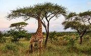 Giraffe Adaptation