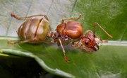 What Happens When a Queen Ant Dies?