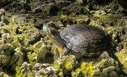 Proper Bait for Live Turtle Traps
