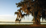 Is Spanish Moss Poisonous?