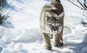 Species of Bobcats in Pennsylvania