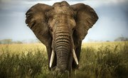 The Differences Between Mammoths & Elephants