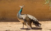 How to Tell a Male Peachick From a Female Peachick