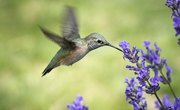 The Migration of Hummingbirds to South Florida