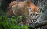 The Differences Between a Puma, a Cougar and a Mountain Lion