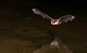 Vampire Bat Life Cycle