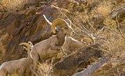 List of Endangered Animals of the Desert
