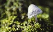 How to Identify Liberty Cap Mushrooms