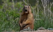 What Do Baby Groundhogs Eat?