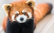 Why Are the Red Pandas Endangered?