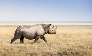 What Do Rhinos Use Their Horns for?