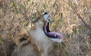 Interesting Facts About Lions & Animals
