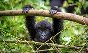 The Gorilla's Ecosystem