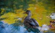 List of Freshwater Ducks