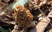 Edible Wild Mushrooms in Illinois