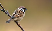 Sparrow & Finch Differences