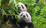 Animals of the Bamboo Forest