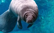 How Do Manatees Protect Themselves?