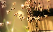 What Is the Life Span of a Honey Bee?