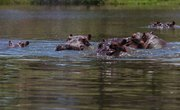 Pablo Escobar's Hippos are Taking Over Colombia