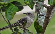 How to Tell a Male From a Female Mocking Bird