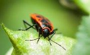 What Eats Boxelder Bugs?