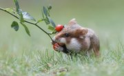 What Animals Commonly Eat Hamsters in the Wild?