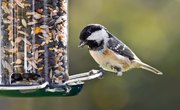 Can You Feed Salted Sunflower Seeds to Birds?