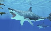 What Did Megalodons Eat Besides Whales?