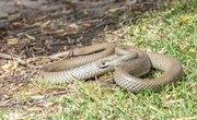 Brown Snakes of Georgia