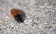 Types Of Woolly Caterpillars