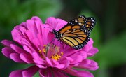 What Do the Colors on Butterflies Mean?
