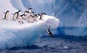How Do Penguins Hunt for Food?