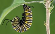 How Does a Caterpillar Build a Cocoon?