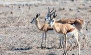 Which Animals Eat Gazelles?