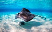 The Differences Between Stingrays & Skates