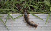 Types of Centipedes in California