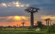 The Adaptations of the Baobab Tree