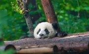 Characteristics & Behaviors of the Giant Panda