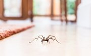 Common House Spiders and Their Mating Habits