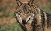 Kinds Of Wolves