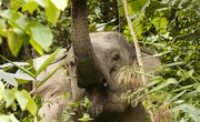 Behavioral Adaptations of Asian Elephants