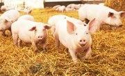 Gestation Period of a Hog