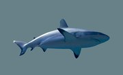 Why Did the Megalodon Become Extinct?